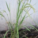 新米の季節 白いお米はみんなのあこがれ?